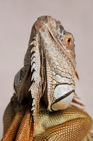 An up-close picture of an iguana looking up Stock Photo - 11606295