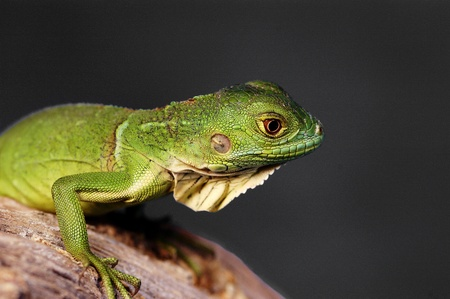 A green lizard crawling on a branch Stock Photo - 11606290