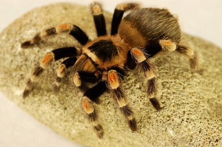 A black and red spider crawling on a stone Stock Photo - 11609863
