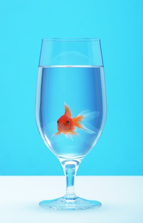 Gold fish in a glass of water Stock Photo - 12642140