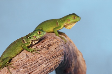 Two green lizards crawling on a branch Stock Photo - 12642966