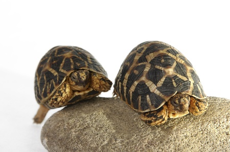 Two tortoises crawling up a stone together Stock Photo - 12642969