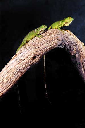 Two green lizards on a branch Stock Photo - 12642971