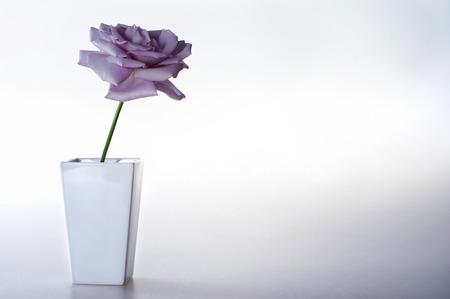 purple rose: purple rose in a vase