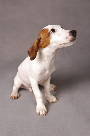 A Jack Russell Terrier sitting down with its head up LANG_EVOIMAGES