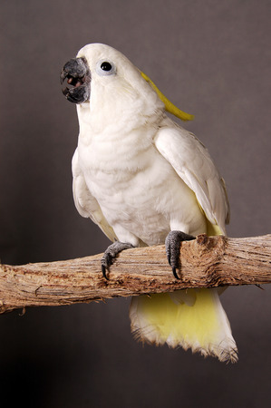talkative: A white and yellow parrot standing on branch
