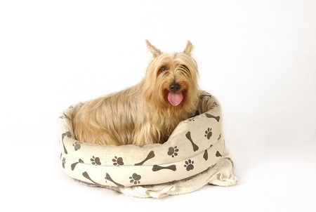 silky terrier: A Silky Terrier sitting on a dogs couch with its tongue out LANG_EVOIMAGES