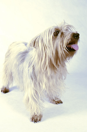 silky terrier: A Silky Terrier standing up and looking up with its tongue out LANG_EVOIMAGES