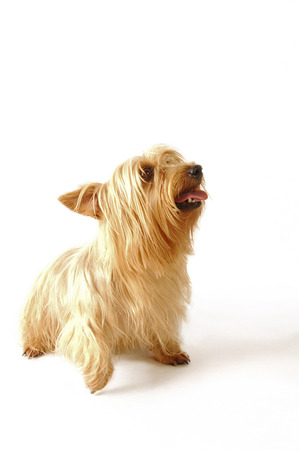 silky terrier: A silky Terrier sitting and looking up with its tongue out