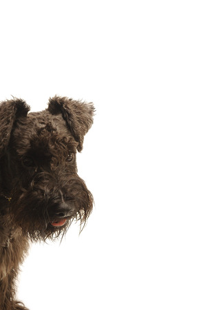 pampered: A Schnauzer standing with its head tilting to a side LANG_EVOIMAGES