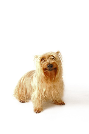 silky terrier: A Silky Terrier sitting up straight looking at the camera LANG_EVOIMAGES