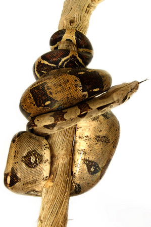 coiled snake: A snake coiling up a branch LANG_EVOIMAGES
