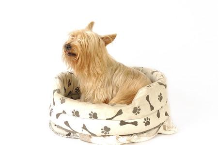 silky terrier: Un Silky Terrier seduto sul divano di un cane