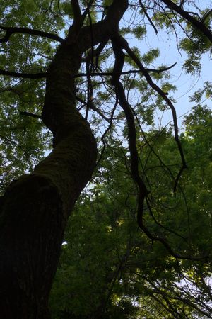 transforms: The old tree transforms a spring forest in fairy and mysterious woods
