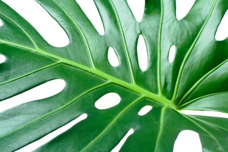 Leaf of tropical evergreen plant ceriman (Monstera deliciosa) close-up isolated on white Stock Photo - 6445519