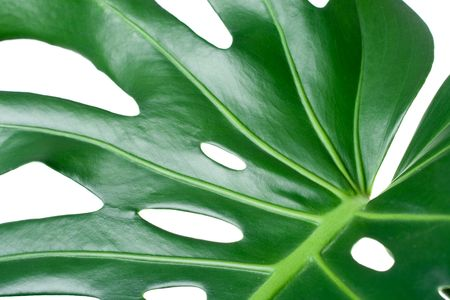 Leaf of tropical evergreen plant ceriman (Monstera deliciosa) close-up isolated on white Stock Photo - 6445533