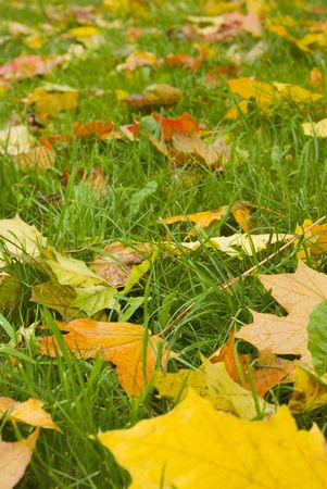 Autumn view. Orange leaves on even green grass. Quiet weather. Stock Photo - 1808655