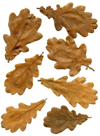 Oak autumn leaves with natural brown color.