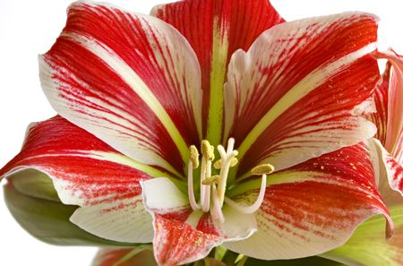 The flower similar to a lily. Bright colors of petals. Particles of yellow pollen
