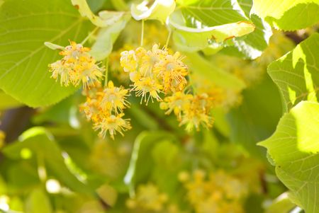 Lime flowers. Very fragrantly. Good background for postcard. photo