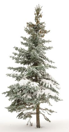 Standing alone fur-tree. Around white snow and the white sky. Winter. Stock Photo