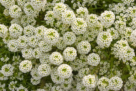 Flowers Alyssum (Lobularia maritima). Bed with flowers in an early autumn