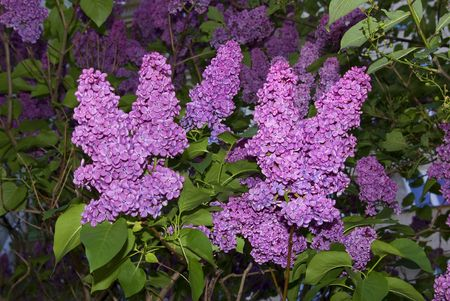 vibrance: Lilac bush. Vibrance illumination of flowers. A blurred background Stock Photo