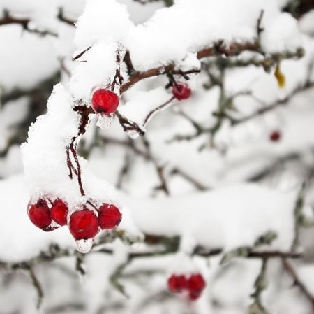 Red berries. The thin ice layer (a droplet from ice) and is a lot of snow. Focus on berries photo