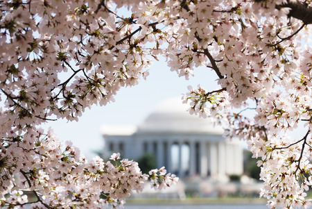 jefferson: cherry blossom in Washington DC with Jefferson Memorial as background Stock Photo