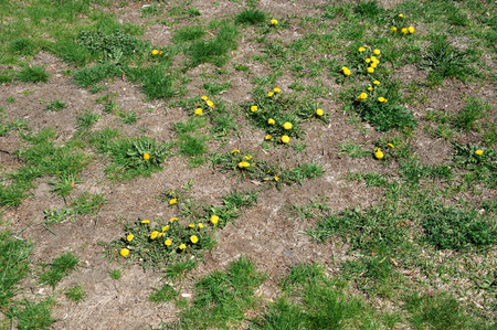bad condition: lawn in bad condition in spring full of dandelion