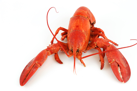 red cooked: single cooked red lobster isolated on white background