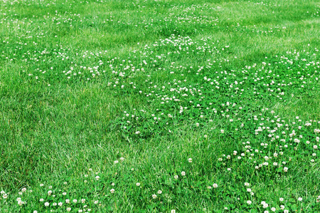 lawn in bad condition in spring full of dandelion