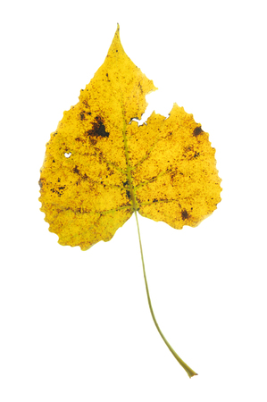 single yellow leaf with stain and hole isolated on white background