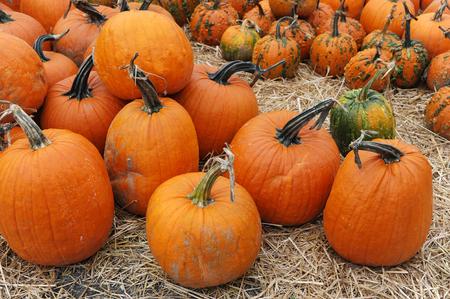 pumpkin harvest in autumn season Stock Photo