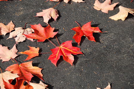 road surface: fallen red maple leaves on asphalt road surface in autumn