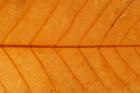 close up on autumn red leaf texture