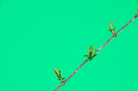 spring bud: spring bud on tree twig on green background