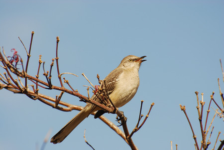 mocking bird on top of the branch Stock Photo