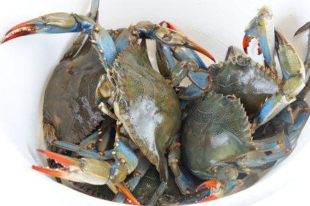 live blue crabs inside white plastic container Stockfoto