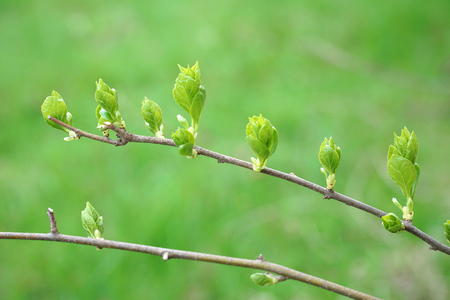 Close up on new grown leaves on tree branch