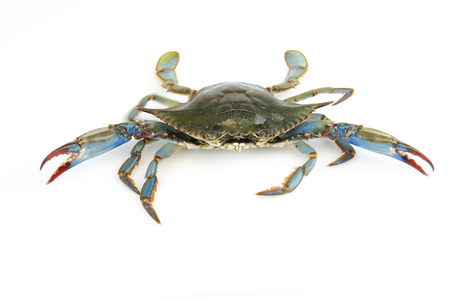 granchio blu vivo isolato su sfondo bianco