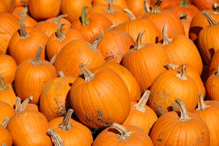 pumpkin harvest in autumn season Reklamní fotografie
