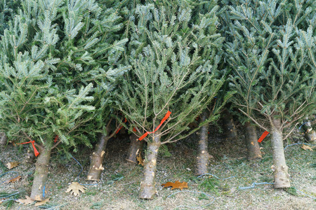 Christmas trees in the farm market for sale in holiday season Stock Photo