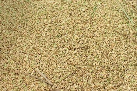 Close up on rice millet in harvest season Stockfoto