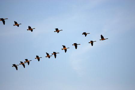 Flying Canada gooses en grupo bajo un cielo azul