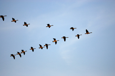 flying Canada gooses in group under blue sky