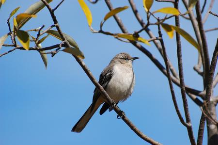Mockingbird standing on the tree branch