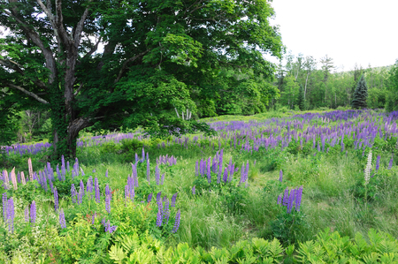 Blooming lupine flower in spring under the tree in wild area Stock Photo
