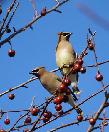 Cedar waxwing bird standing on the branch eating red fruit Фото со стока