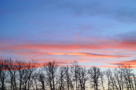 winter trees silhouette in a row with pink sunset sky Stock Photo